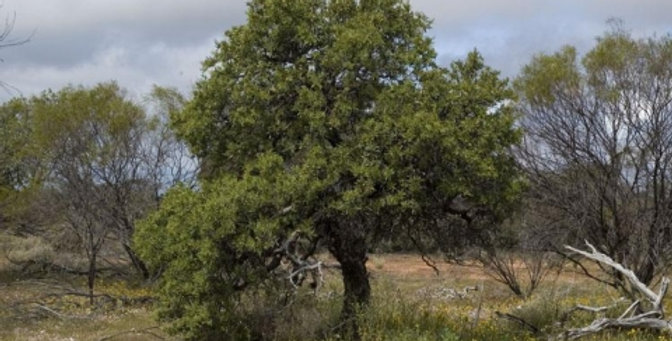 Organic Australian Sandalwood Essence 15ml