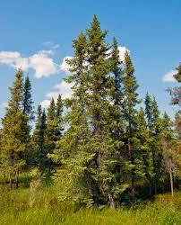 Essence of the Week:  Black Spruce