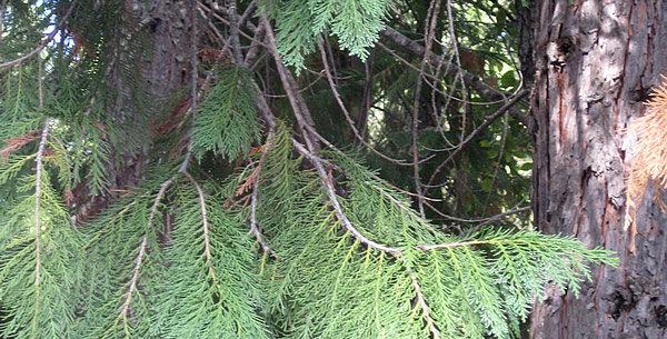 Wild Lawson Cypress Essence  15ml