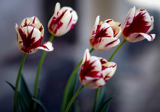 Tulipswaiting.jpg