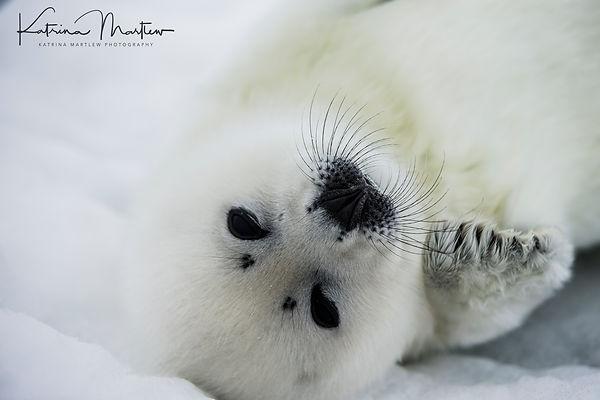 Harp Seal Pups-4399.jpg