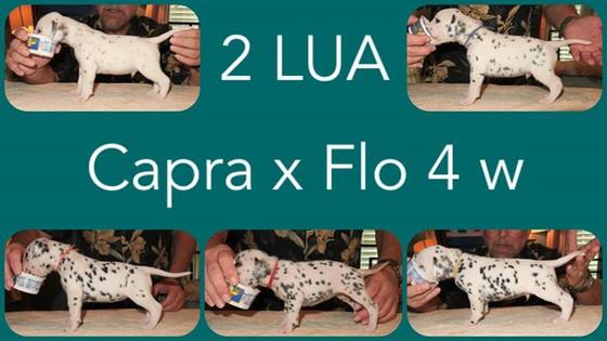 Capra x Flo 4 weeks old