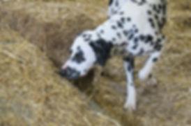 Dalmatian Barn Hunt Capra Fiacre Woodwynd It Happened One Night