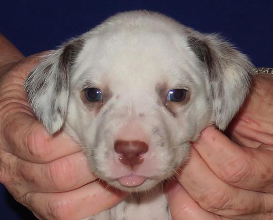 Liver LUA puppy
