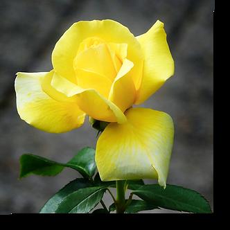 1506 - Rose gelb