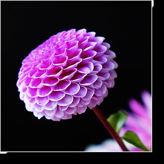 1534 - Dahlie violett