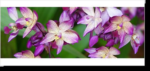 1560 - Orchidee