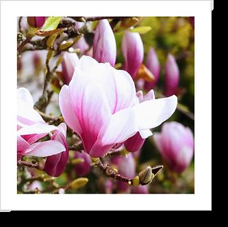 1513 - Magnolia