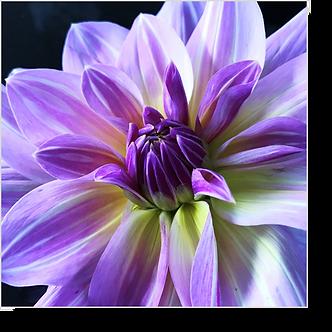 1533 - Dahlie violett