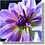 Thumbnail: 1533 - Dahlie violett