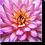 Thumbnail: 1530 - Dahlie violett orange