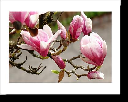 1511 - Magnolia