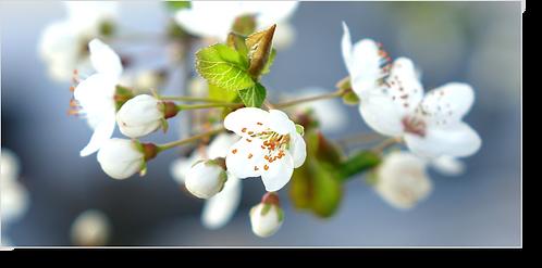 1550 - Apfelblüte