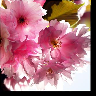 1554 - Kirschblüte
