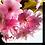 Thumbnail: 1554 - Kirschblüte