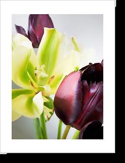 1525 - Tulpe gelb-violett