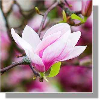 1510 - Magnolia