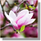 Thumbnail: 1510 - Magnolia