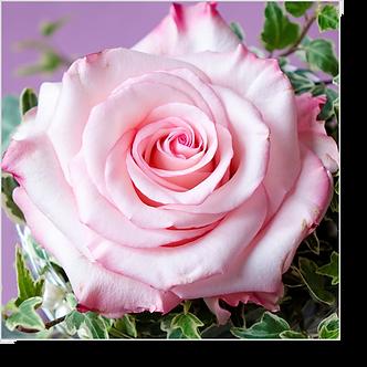1501 - Rose rosa