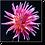 Thumbnail: 1535 - Chrysantheme