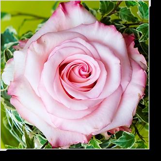 1502 - Rose rosa