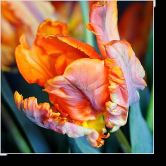 1521 - Tulpe orange