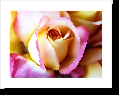 1504 - Rose gelb-rosa