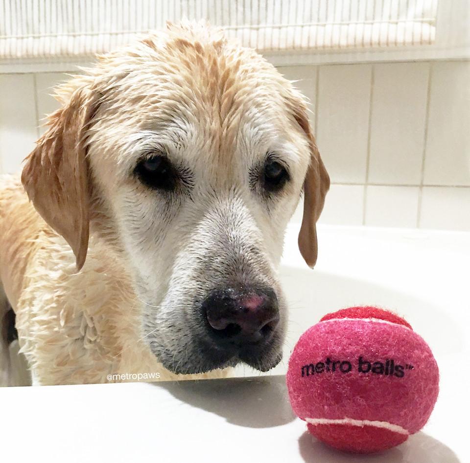 Stone the Labrador retriever in the bathtub staring a pink metro ball