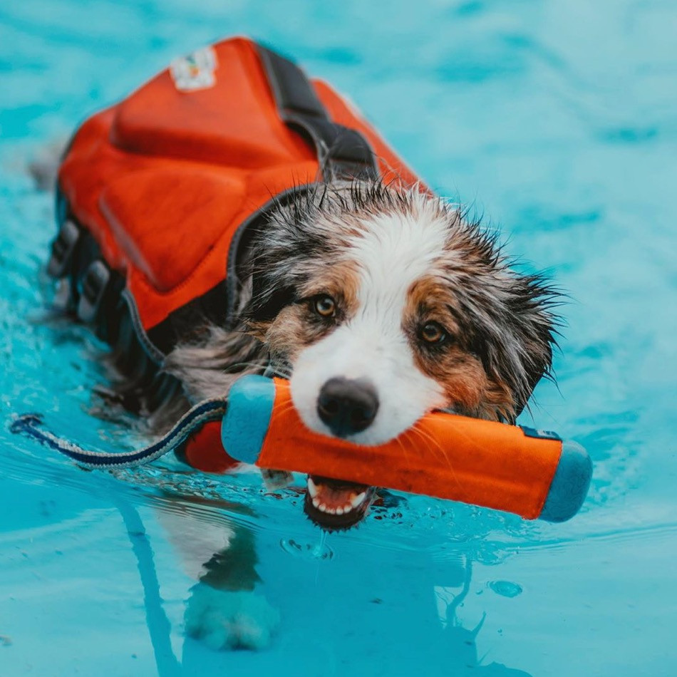 Apollo the Australian shepherd wearing a life jacket, carrying a pool toy, swimming in a pool