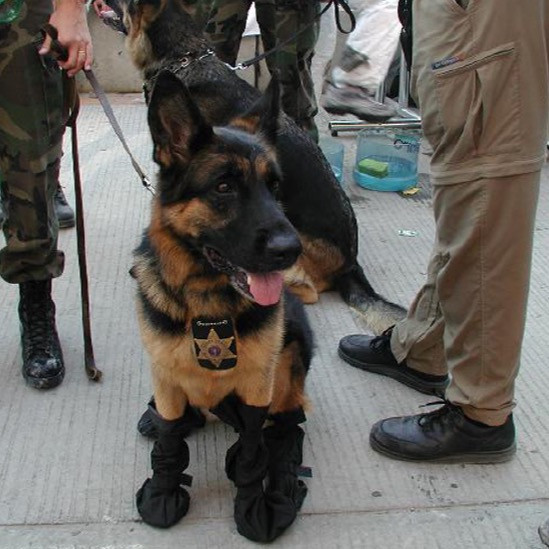 Trakr the German Shepherd at the site of 9/11 wearing booties and a police badge while waiting to search the debris