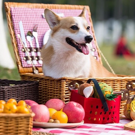 Pembroke Welsh Corgi in a picnic basket