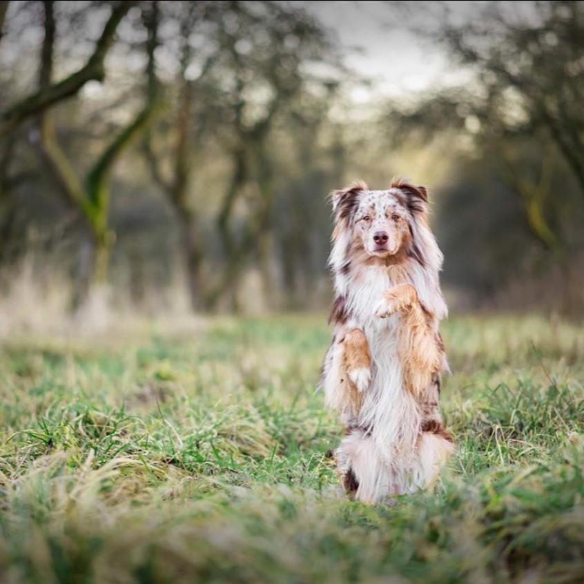 Australian shepherd sitting pretty in a field