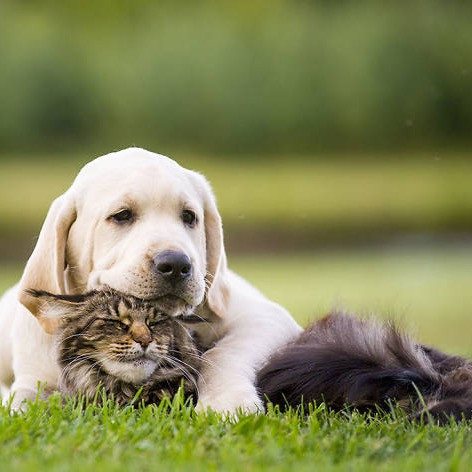 Puppy labrador cuddling with a cat