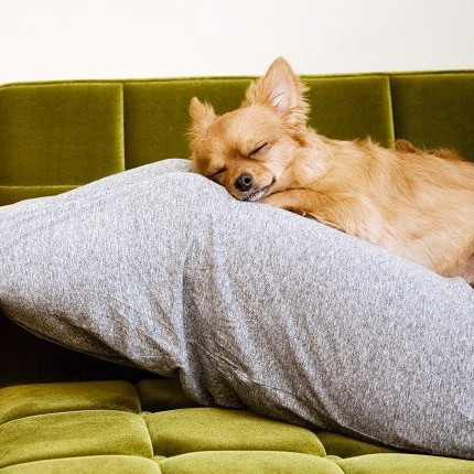 Papillon dog sleeping on a pillow