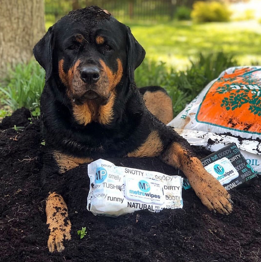 A Rottweiler sitting in a pile of dirt looking at the camera and posing with metro wipes natural and charcoal peppermint