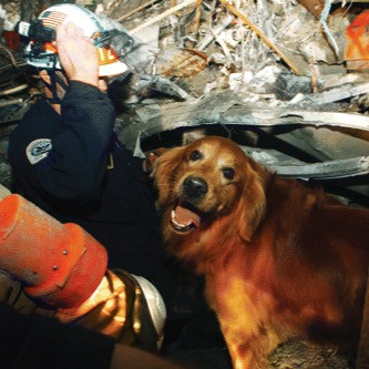 Thunder, a search and rescue golden retriever during 9/11 and standing under debris and rubble looking for survivors.