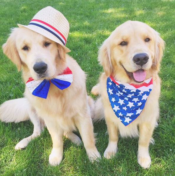 Two golden retrievers sitting for the camera wearing patriotic clothing