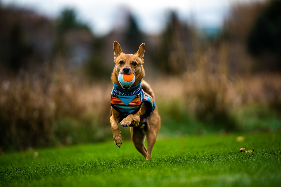 Robin the dog running with a metro ball, dog photography, small dog