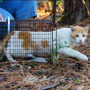 Feral cat being released from a TNR trap