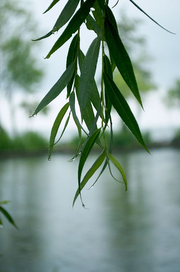 Branch of willow in the rain.jpg