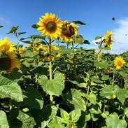 sunflower field at farringtons