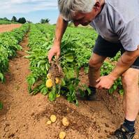 picking potatoes at farringtons farm