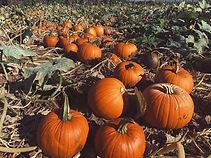 Pumpkin Patch at Farrington's