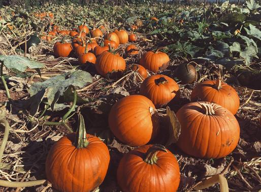 We have planted 40,000 Pumpkins!
