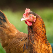 chickens at farrington's