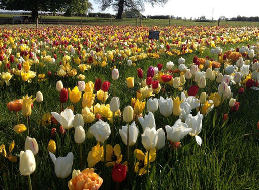 PICK YOUR OWN TULIPS EVENT COMING SOON IN 2020 AT FARRINGTON'S FARM