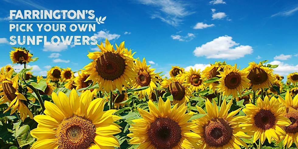 PYO Sunflowers 11th Aug