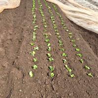 organic veg growing at farringtons farm