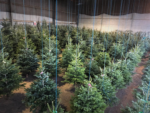 4 Easy Steps to Look After Your Christmas Tree