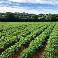 potatoes fields at farrington farm bristol